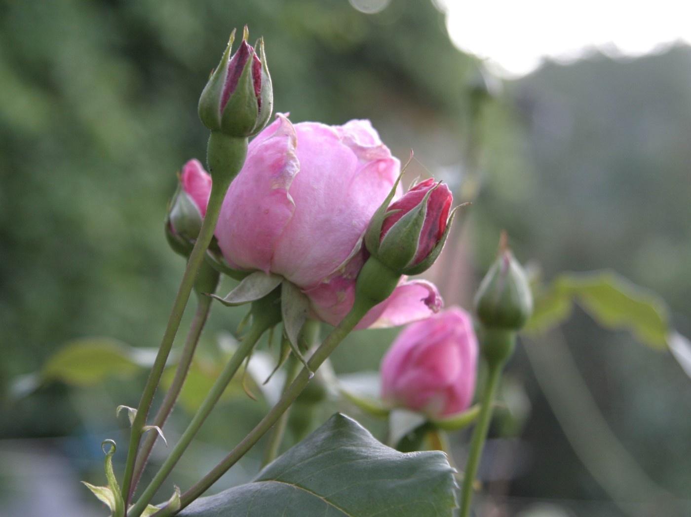 Rosen im Cremetiegel zum Muttertag - DIE UMWELTBERATUNG