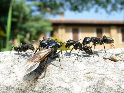 nat rliche ma nahmen gegen ameisen die umweltberatung. Black Bedroom Furniture Sets. Home Design Ideas