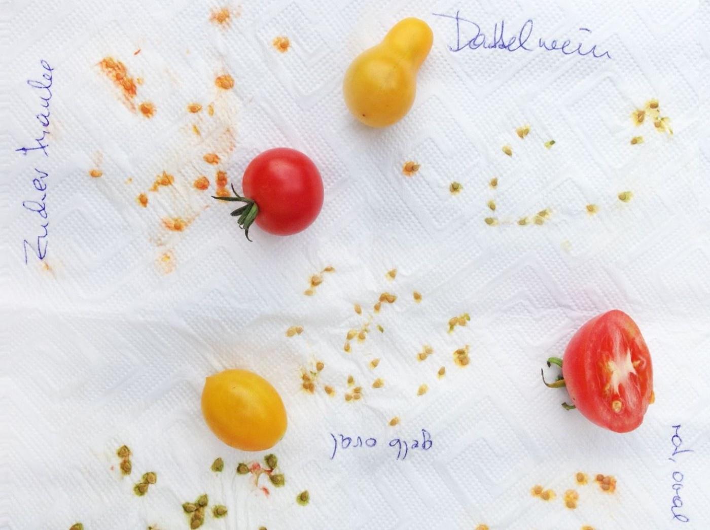 Cocktailtomaten und Samen auf Küchenrollenpapier