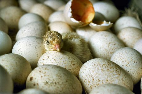 Chicks_hatching_USDA.gov